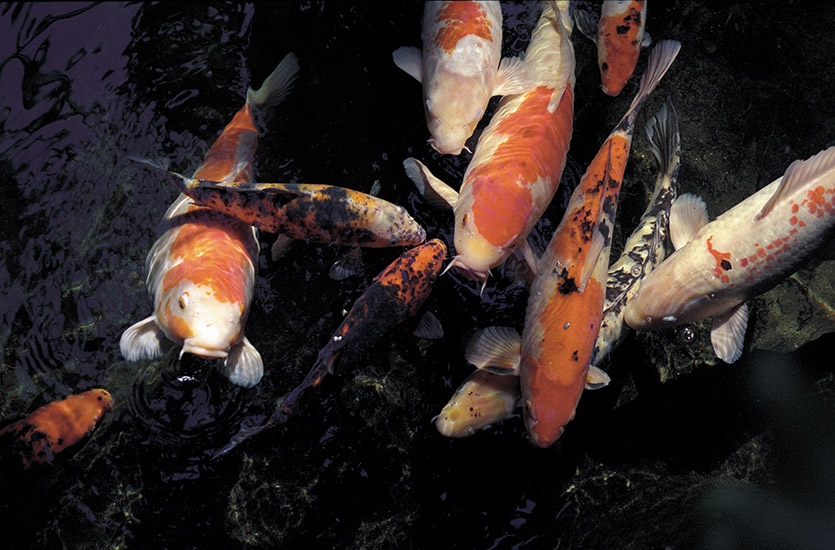 Colour me koi pacific rim magazine for Koi fish living conditions