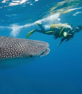 Image of a diver swimming with a whale shark