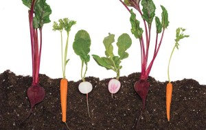 Root vegetables in the dirt