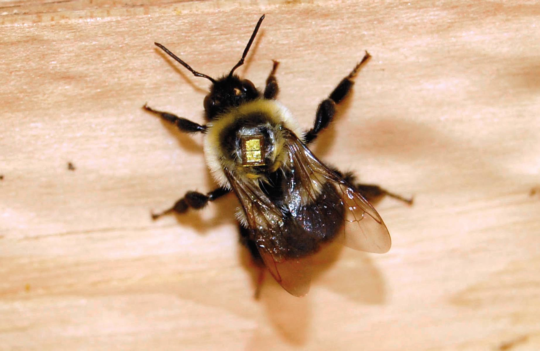bee with tracking device