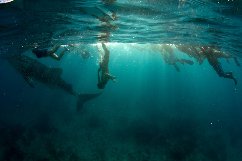 swimming-with-whale-shark