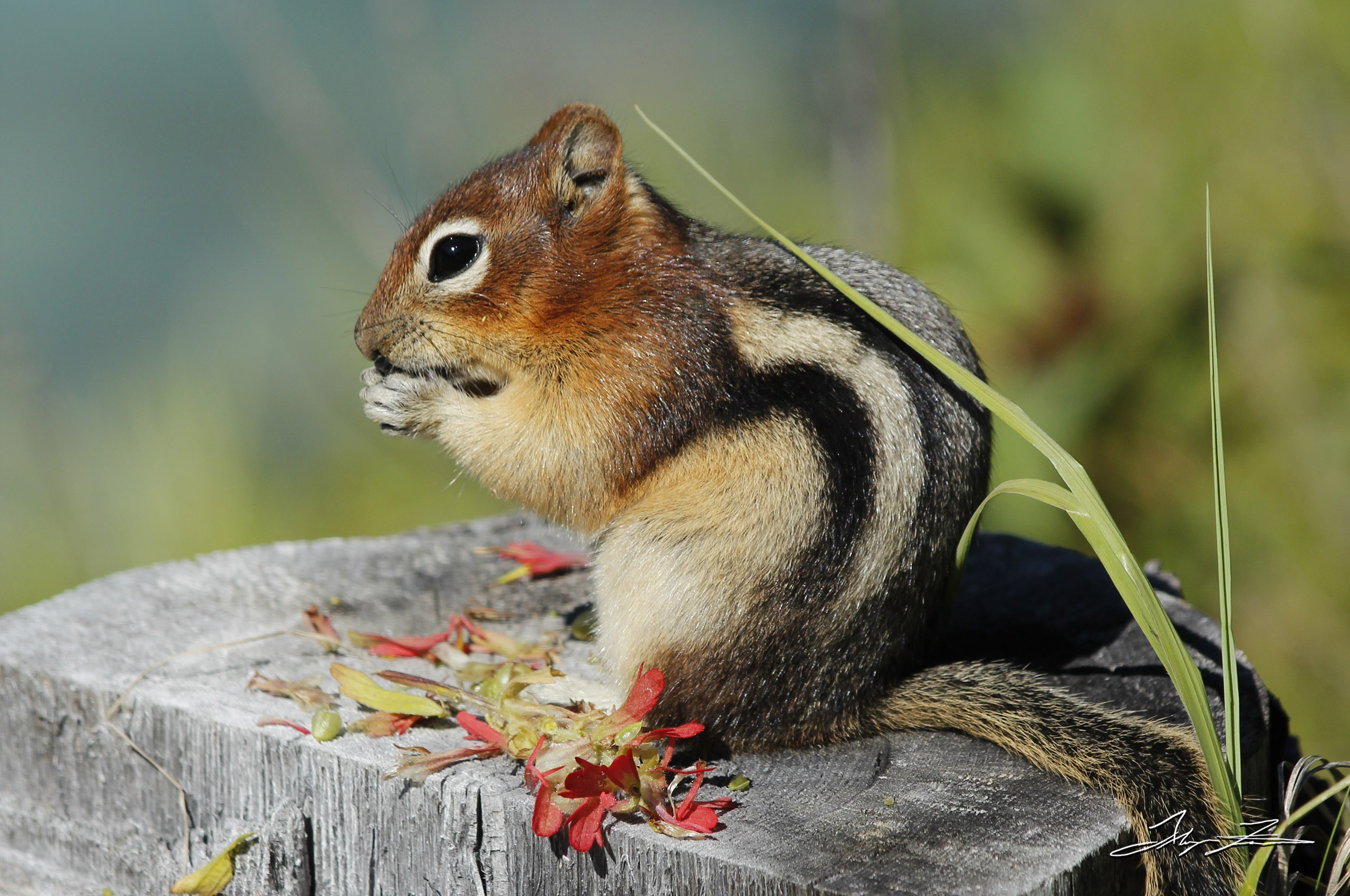 A chipmunk, captured by photographer and DPUB student Alayna Fairman