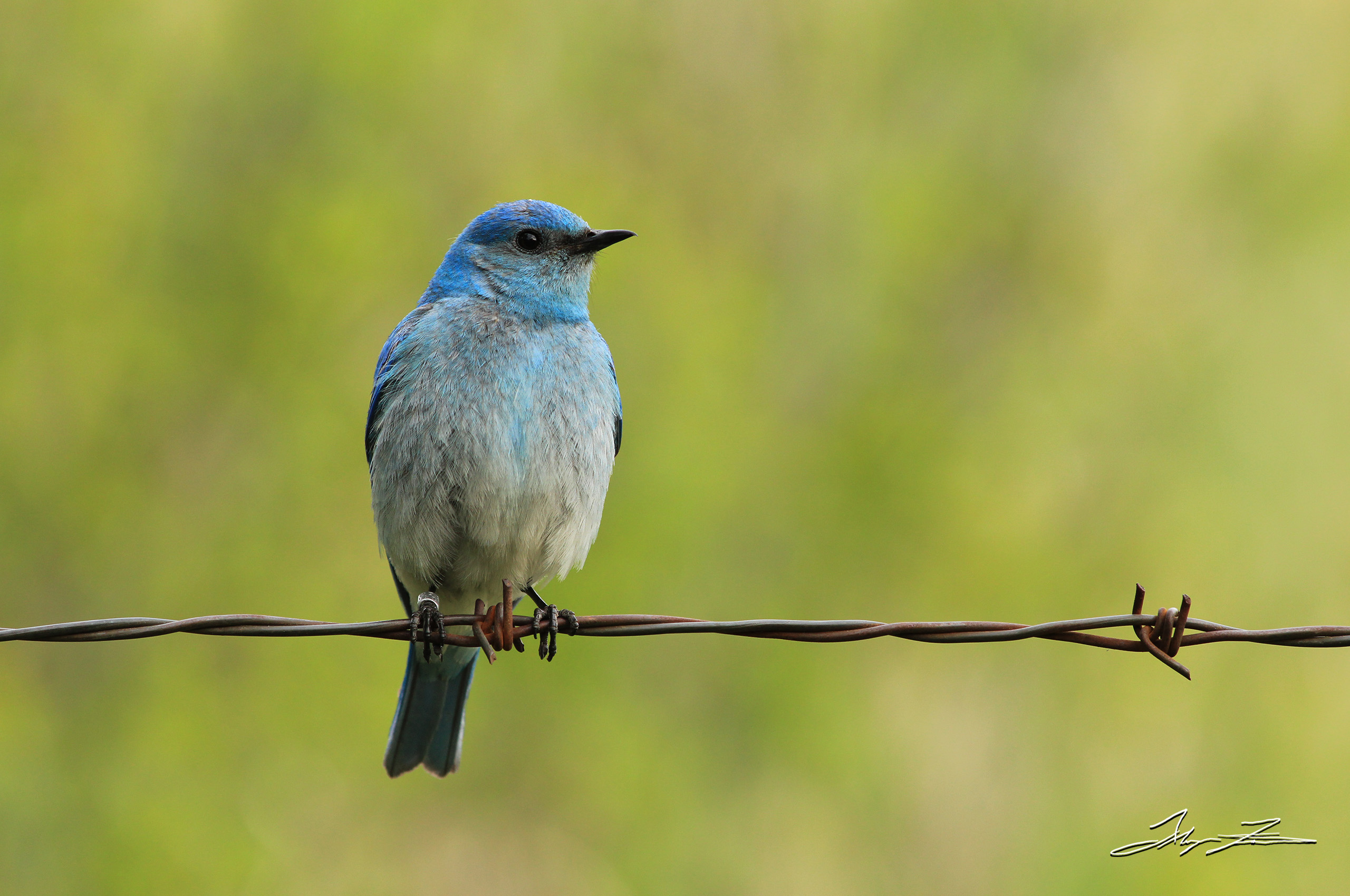 A bluebird, captured by photographer and DPUB student Alayna Fairman