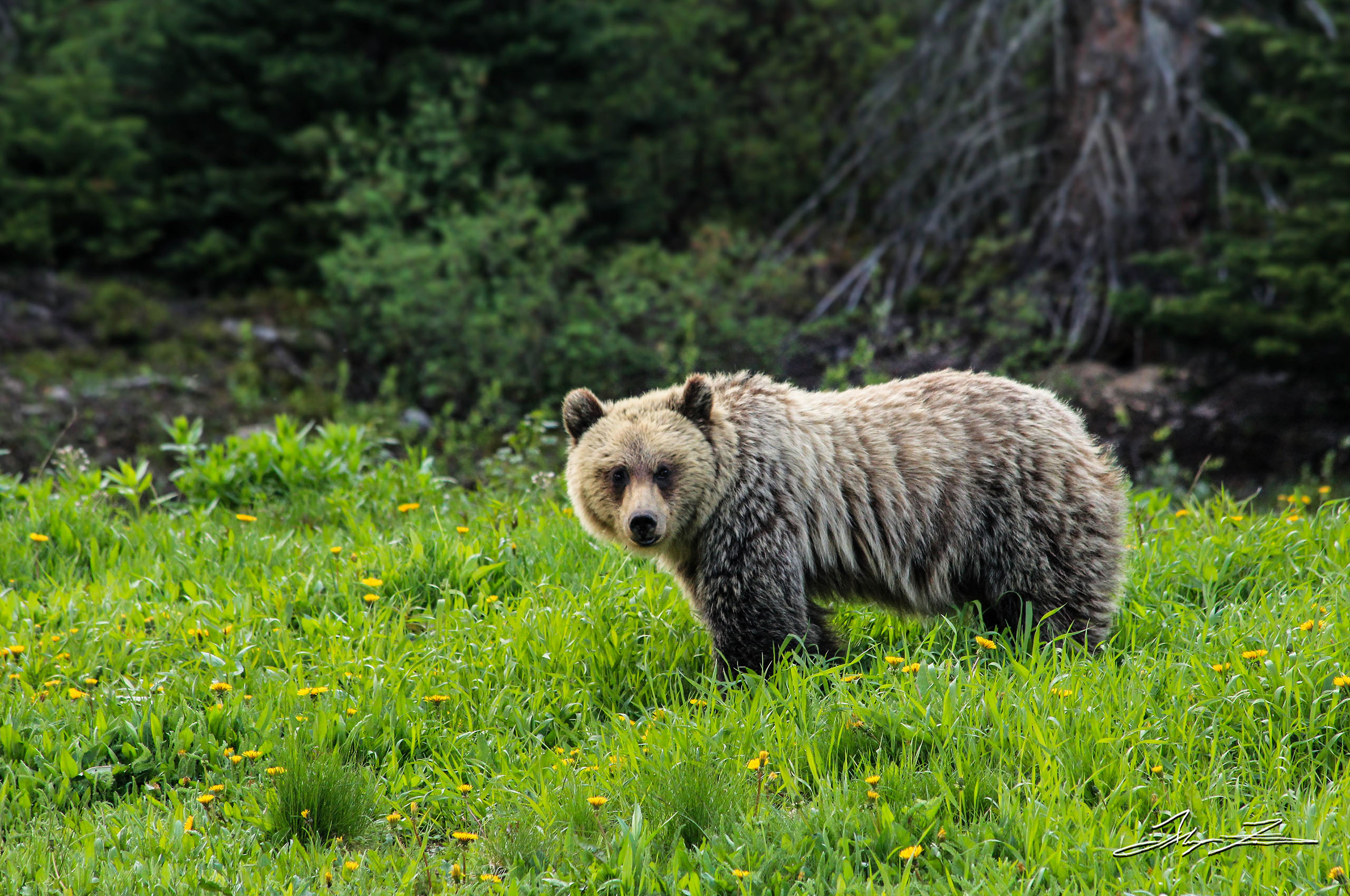 A grizzly bear, captured by photographer and DPUB student Alayna Fairman